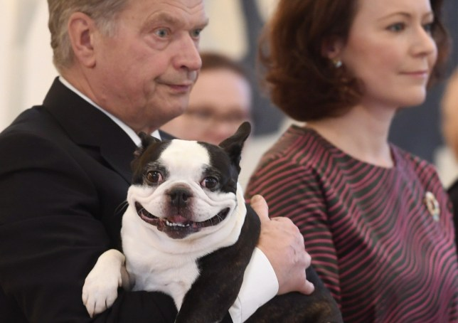President Sauli Niinisto and his wife Jenni Haukio have been presented with traditional Christmas gifts and greetings at the presidential residence, Mantyniemi, 15th December 2016. The couple's dog, a Boston terrier known as Lennu (in the picture), was also present.