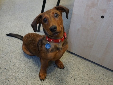 Deaf Dachshund learns sign language to try and find new home