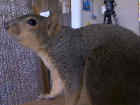 Pet squirrel hailed as hero after chasing would-be burglar away