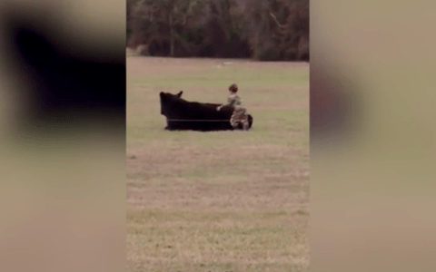 A young boy tries to jump on the back of a bull for a bet with his dad