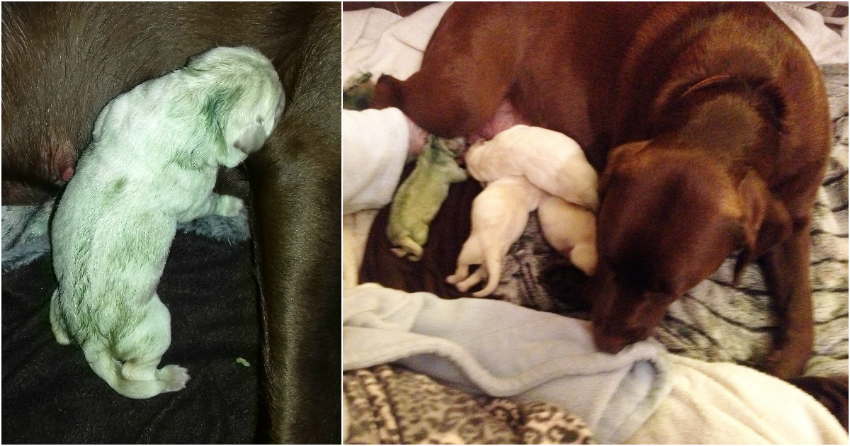 Dog gives birth to mint chocolate Labrador puppy