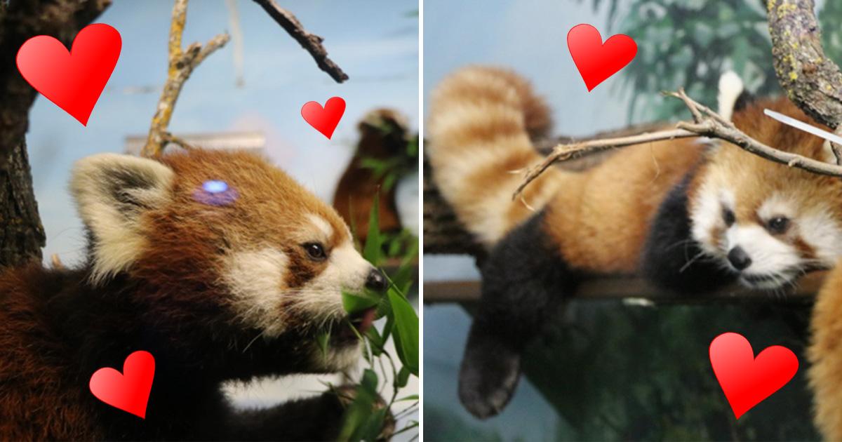 (Picture: CBC/ Kelly Malone) Red panda finds love. I'm still single. Species-saving love: Sachi the red panda finally finds romance at Winnipeg zoo Sachi and Tango