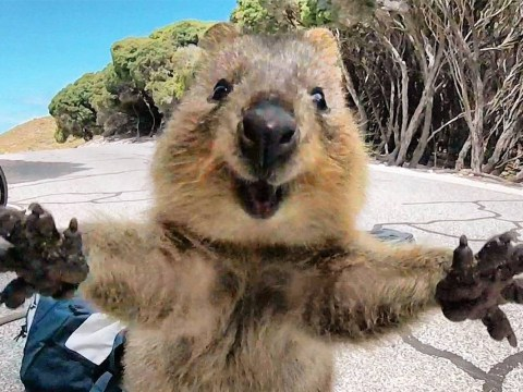 Rare and immensely cute quokka doesn't look camera shy in slightest