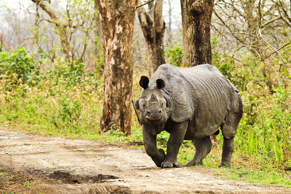 (Picture: Shutterstock) Rhinoceros in Kaziranga National Park; Shutterstock ID 122734903