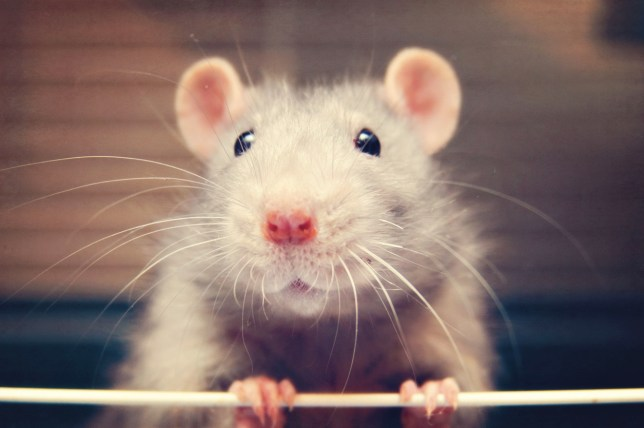 Cute rat with whiskers and nose.