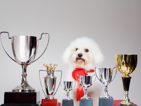 8 reasons why dog lovers need to boycott pet pageants like Crufts