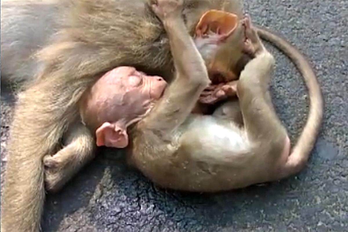 Heartbroken baby monkey weeps as it clings to dead mother's body