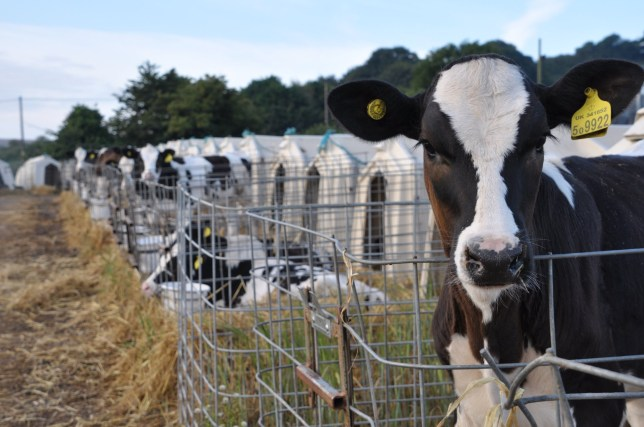 Shocking pictures show young cows crammed into cages at M&S