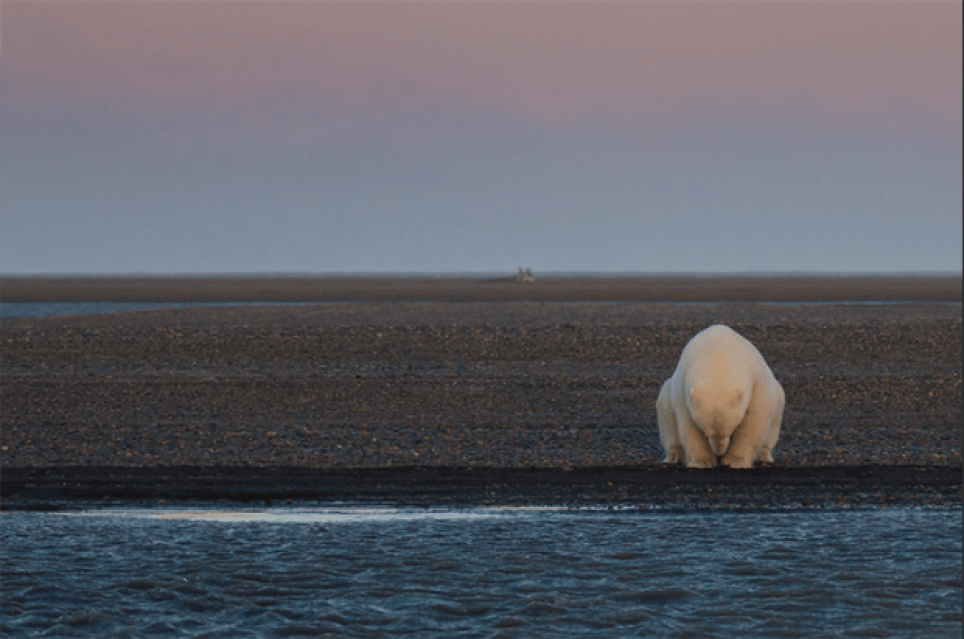 Haunting Photos of Polar Bears in a World Without Ice Picture: Patty Waymire website: pattywaymire.com Instagram: @picture.gypsy