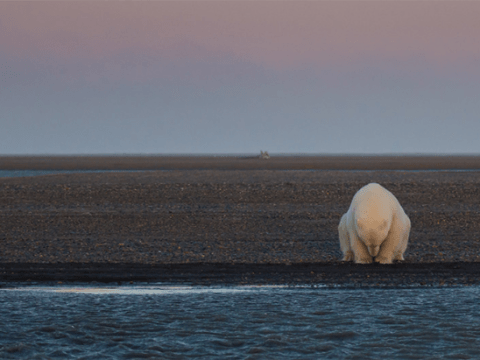 No Snow, No Ice – Unforgettable images of polar bears without ice