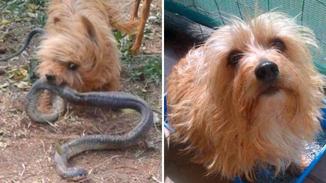 Yorkshire terrier sacrifices itself saving owner from deadly cobra