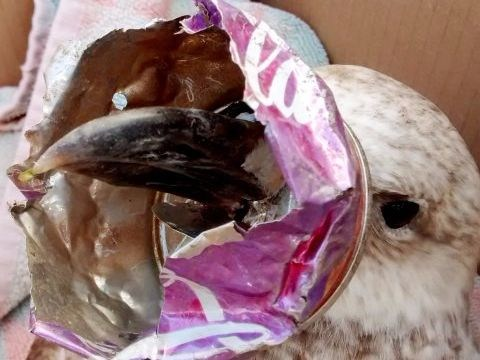 Seagull almost starved to death after getting Coca-Cola can stuck on its beak