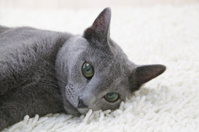 11 reasons why Russian Blue cats are the best | Metro News