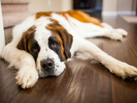 Loving, adorable, gentle giants – 23 things every St Bernard owner knows