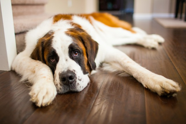 Dog breeds: 23 things every St Bernard owner knows   Metro News