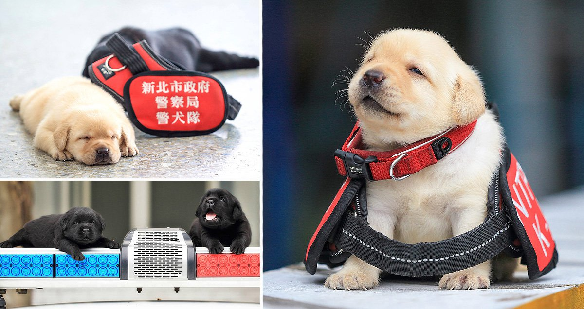 Behold the six very important puppies joining Taiwan's police force