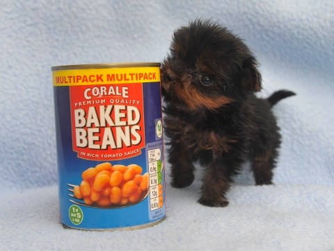 Meet Britain's smallest puppy who's the same size as a can of beans
