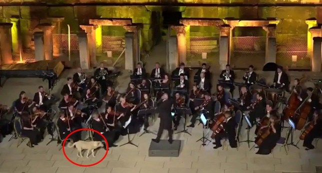 Dog wanders on stage during classical music concert in