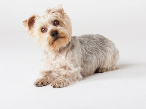 10 things every Yorkshire Terrier owner knows