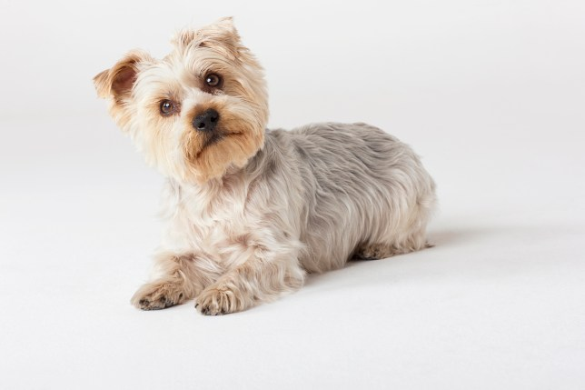 Yorkshire Terriers 10 Things Owners Know About Their Furry Friends
