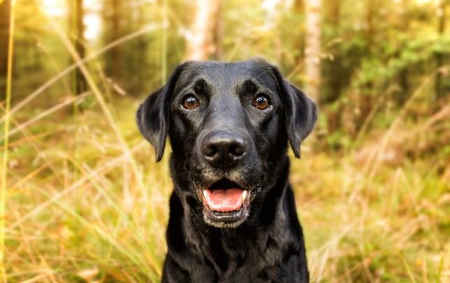 cute black labrador smiling in the outdoor sun