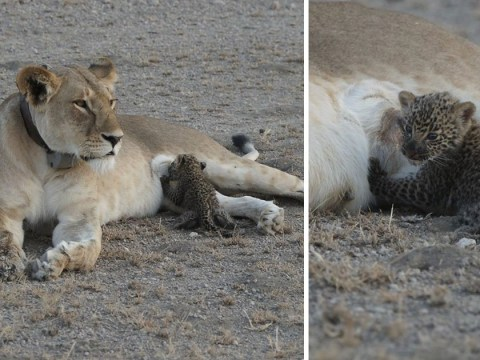 Incredible pictures show lioness nursing leopard cub