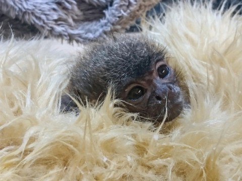 Baby monkey just five inches long was hand reared by zookeepers after his mum died