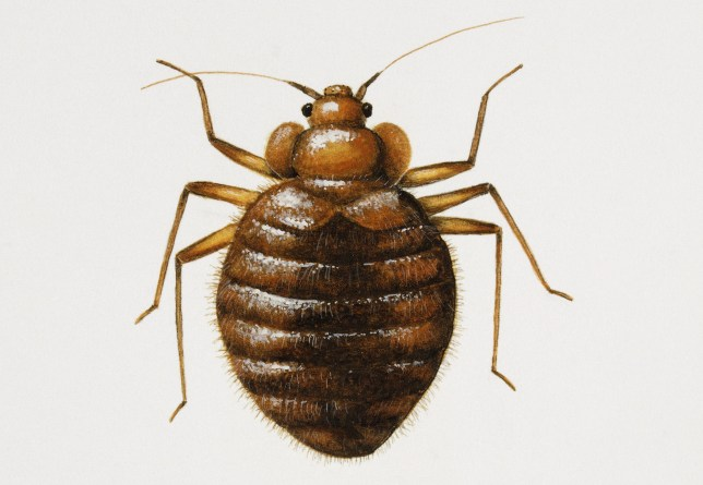 How to get rid of bed bugs and what do they look like? | Metro News