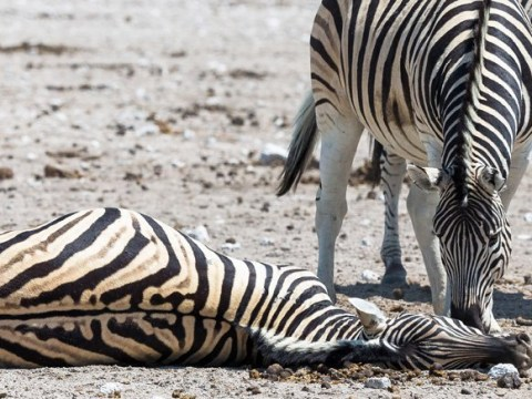 Zebra tries in vain to wake up female partner who died giving birth