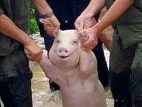 Smiling pig sparks Photoshop battle after being rescued from floods