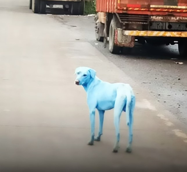 Stray dogs turn bright blue after swimming in 'polluted