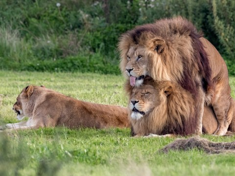 Photo of 'mating' male lions goes viral – but it's not what it seems