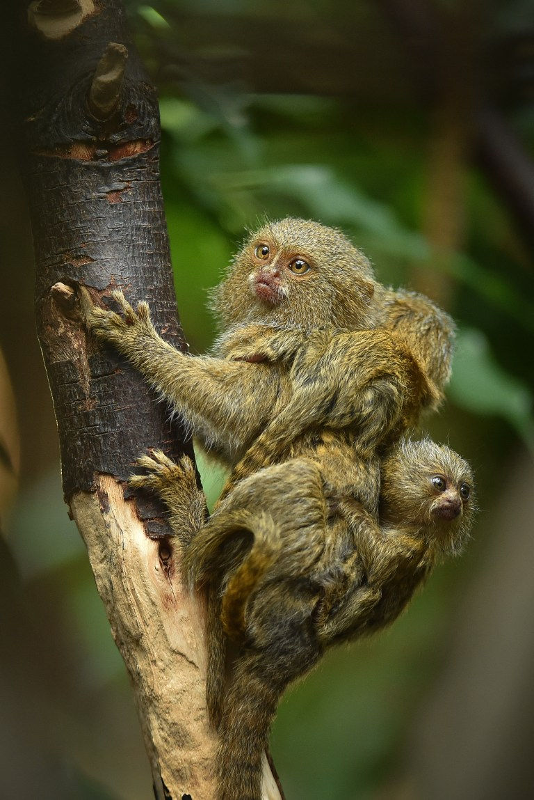 Baby Born At 25 Weeks: Very Small Pgymy Marmoset Monkey Gives Birth To Tiny Twin