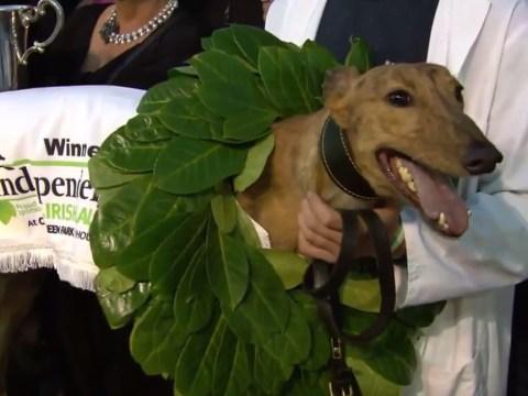 Irish champion greyhound Clonbrien Hero tests positive for cocaine