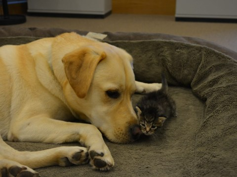 A Labrador adopted an abandoned five-week-old kitten and now they spend their days snuggling