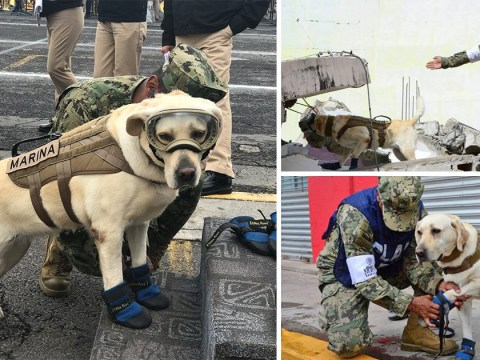 Rescue dog who has saved 52 lives is hard at work after Mexico earthquake