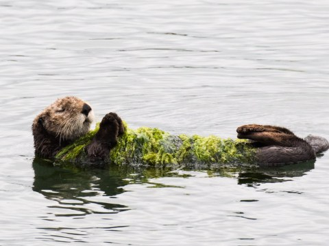 This otter has made his own blanket all ready for winter
