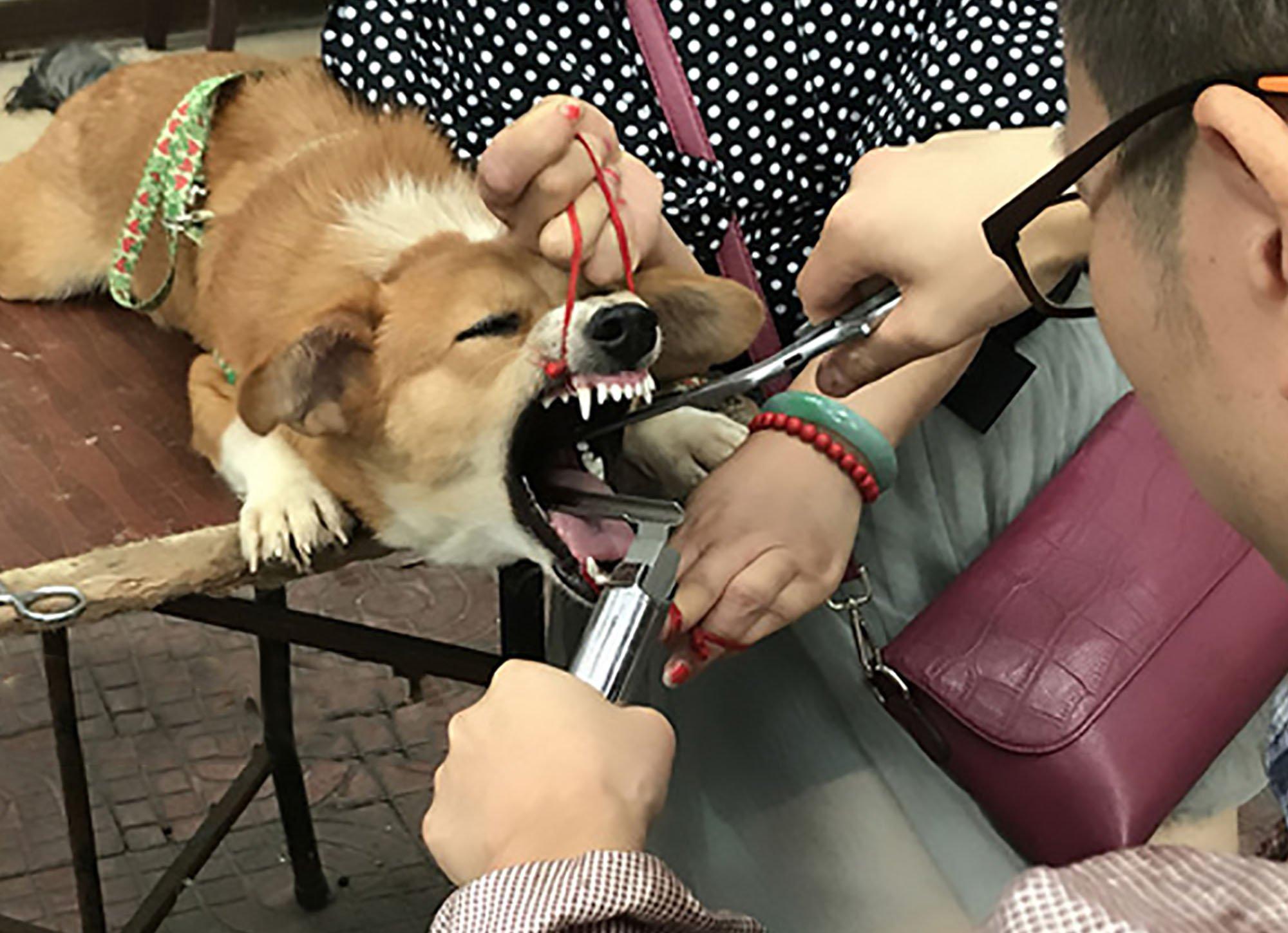 'Vet' filmed slicing dogs' vocal cords to stop them barking