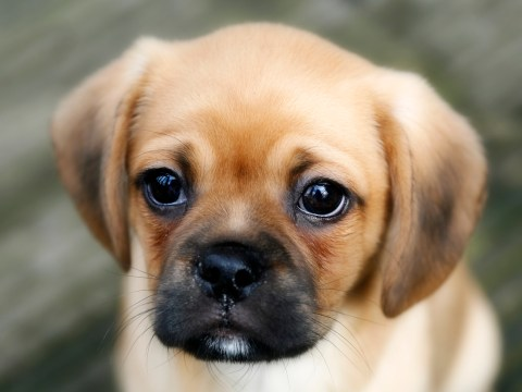 Turns out dogs knowingly pull 'puppy dog eyes' to get attention from humans