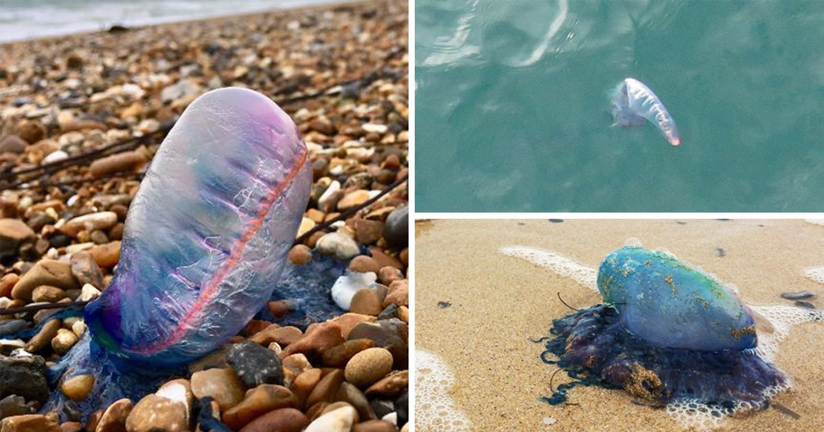 Warning after deadly Portuguese man o' war wash up on UK beaches