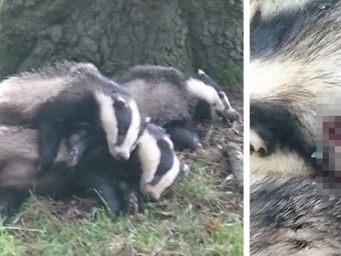 Badger cull picture shows three dead animals piled up together