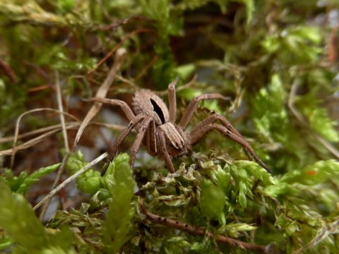Rare British spider returns from the dead after it was presumed extinct
