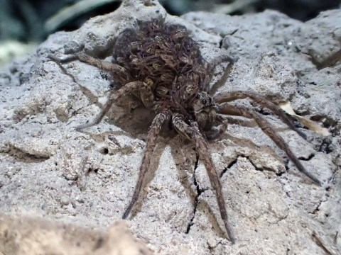 Horrifying spider with hundreds of babies on its back creeps up on tourists