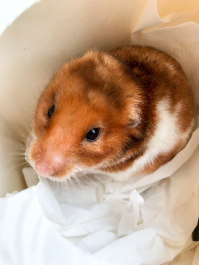 Hamster returns from the dead moments before family was