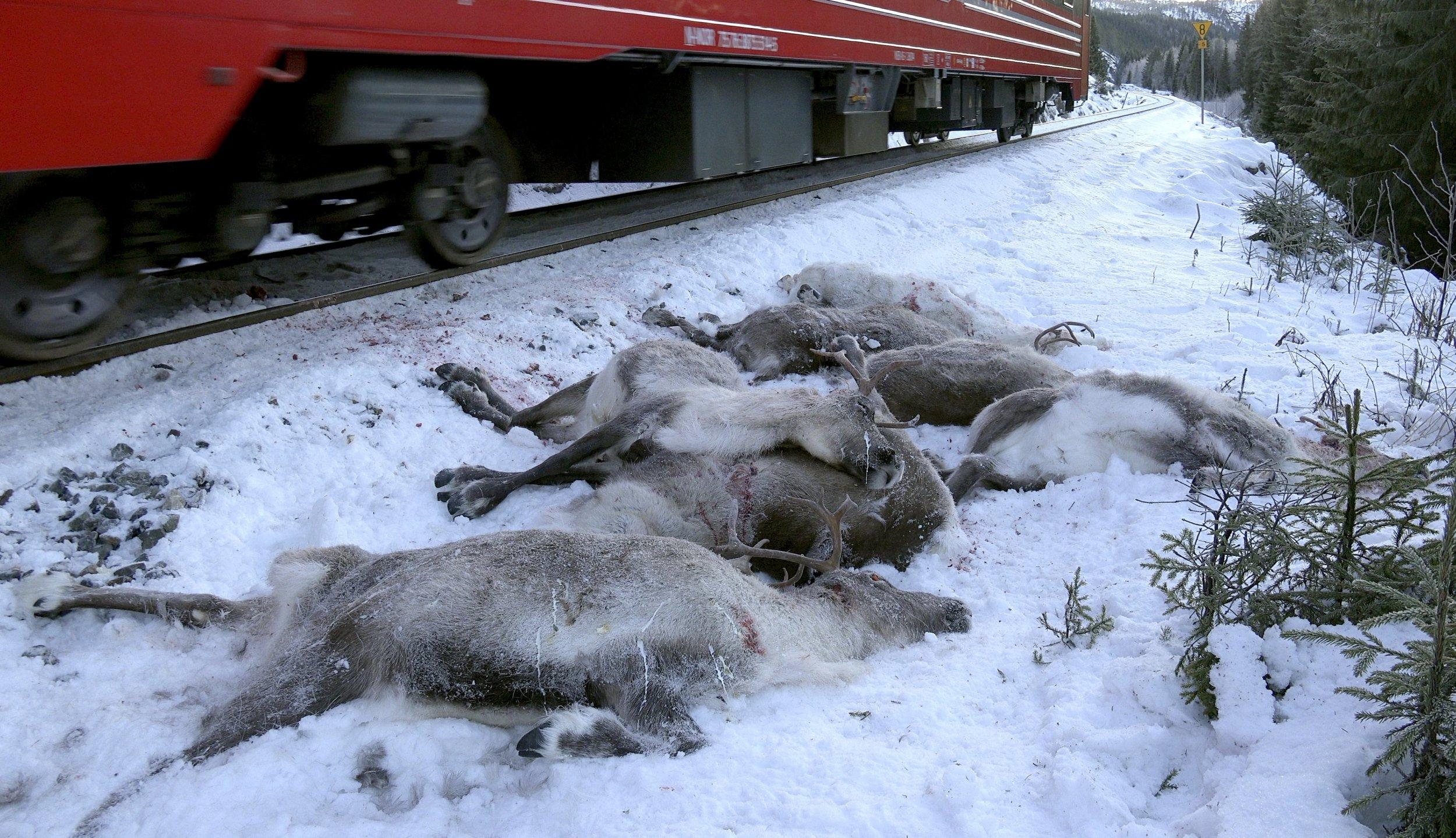 An unprecedented amount of reindeer have been killed this week