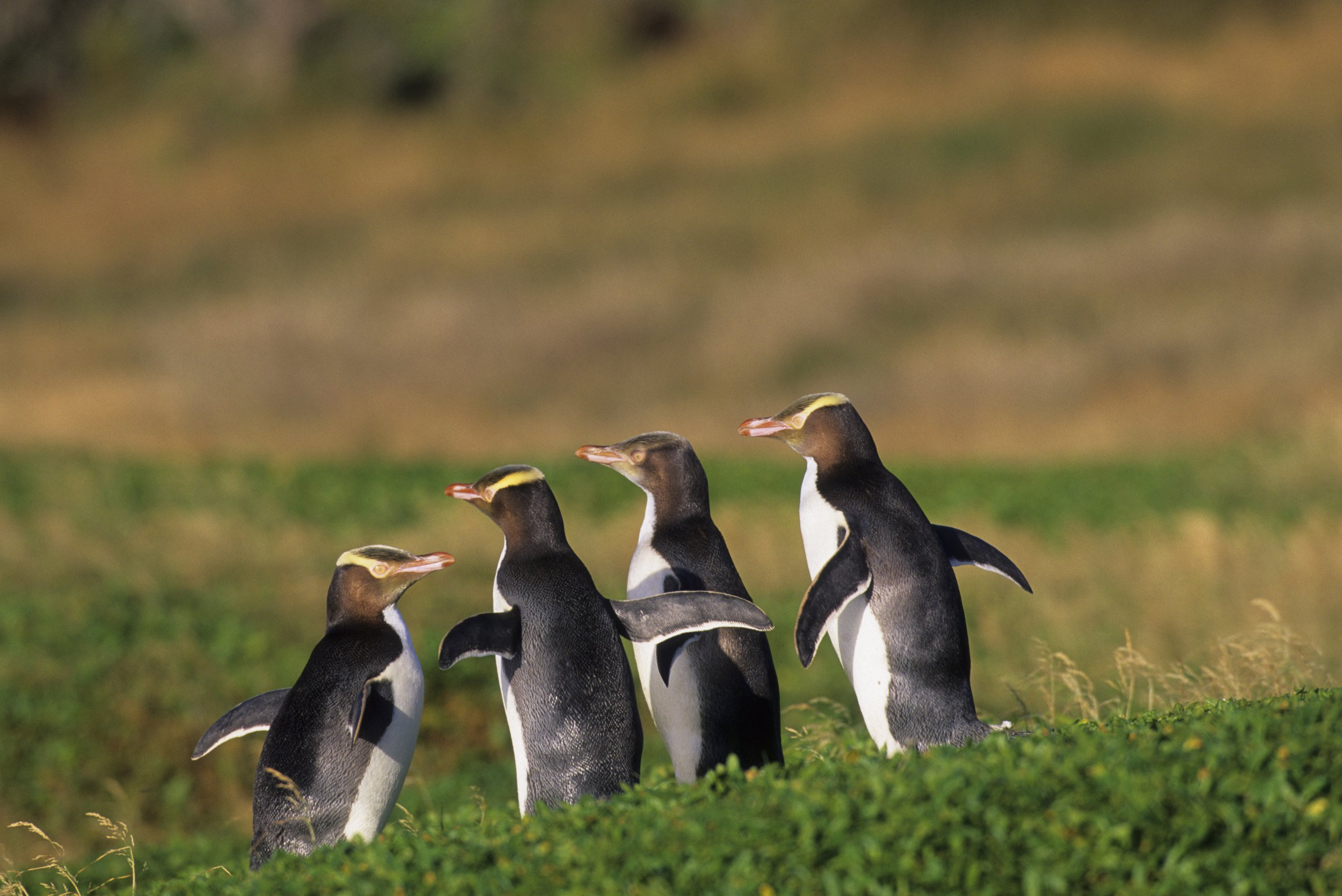 Yellow-eyed penguin is on the brink of extinction