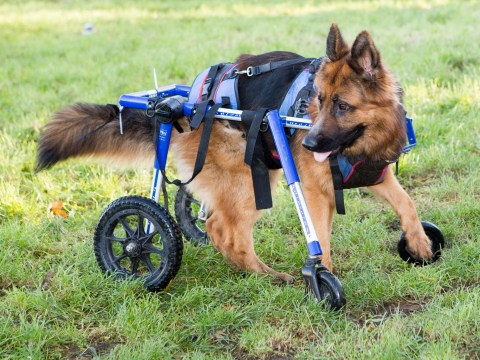 A dog who was stamped on as a puppy can walk again thanks to a new set of wheels
