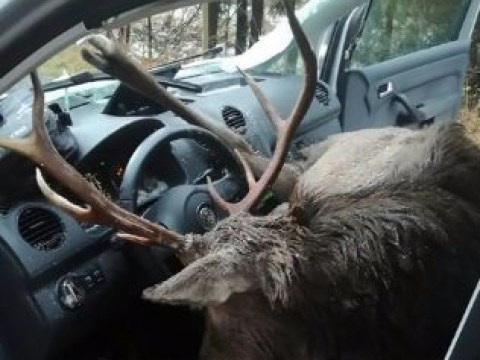 Driver escapes death after stag crashes right through windscreen
