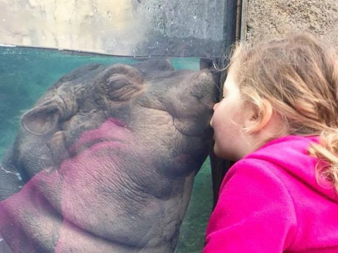 Fiona the hippo kissing a little girl is the most pure thing of 2017