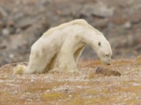Video of starving polar bear is a reminder we need to stop global warming